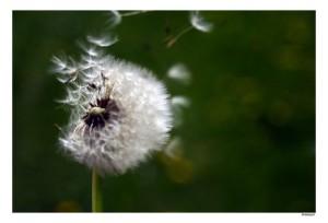 semer à tout vent