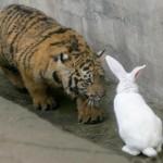 tigre et lapin