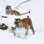 tigres joueurs